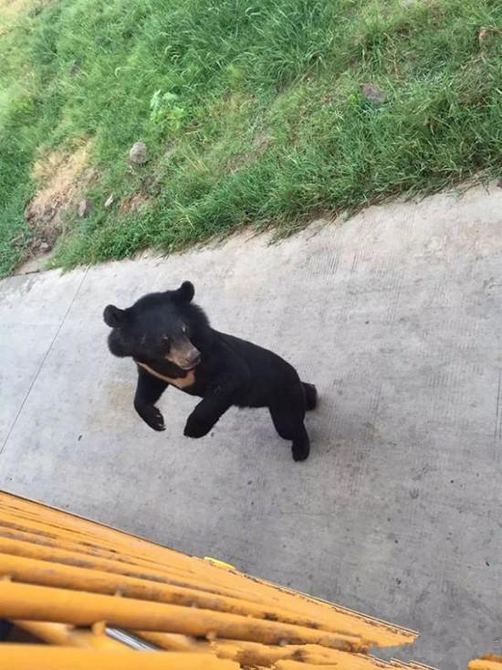 上海野生动物园老虎围攻咬死小黑熊