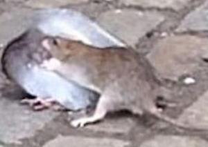 好暴力!老鼠鴿子當街對決 鴿子敗陣