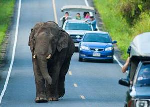 泰国大象闯入公路散步不惧车辆 游客小心避让